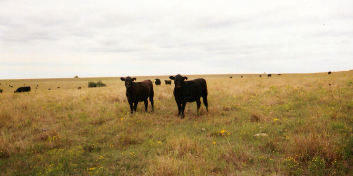 Twyla Hoobler's Angus Cattle on her pasture in Latham, KS in 2003 - Kansas Cattle Company - Quality Angus Replacement Pairs