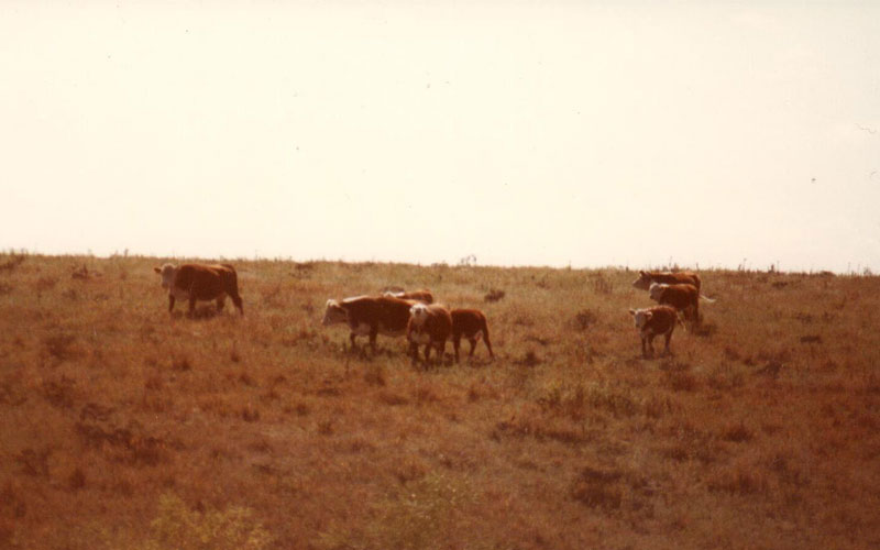 Harry Wagner with his Hereford Cattle at Kincaid Ranch - Historical Photo - Kansas Cattle Company