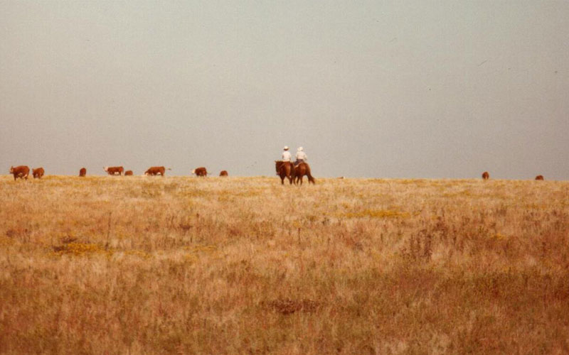 Harry Wagner and Twyla Hoobler riding horses with Hereford Cattle in 1985 - Historical Photo - Kansas Cattle Company